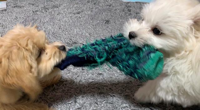犬が靴下を噛んでいる