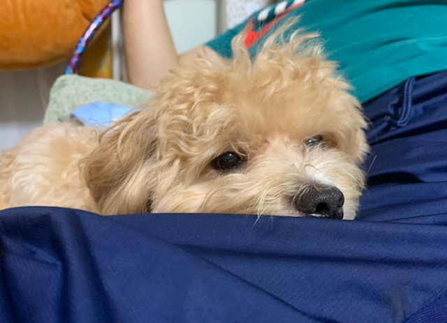 膝の上で寝てくれた犬1